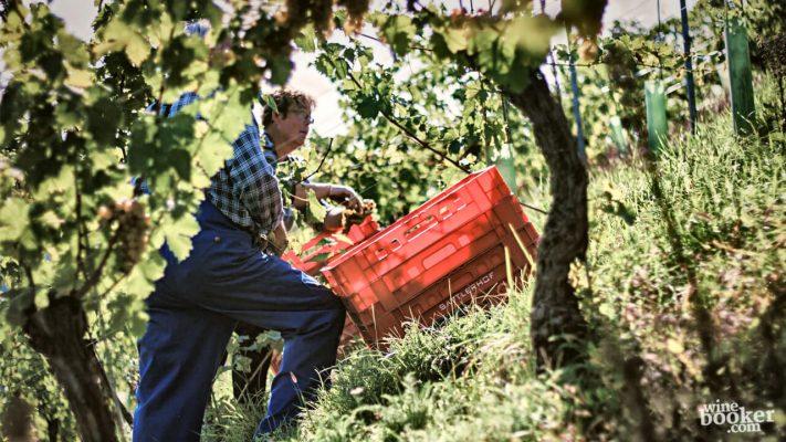 Sorgfältige Trauben-Lese im Weingut Sattlerhof